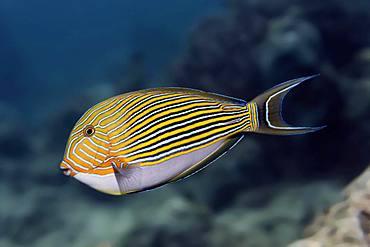 Striped Surgeonfish (Acanthurus lineatus), Great Barrier Reef, Unesco World Heritage Site, Pacific, Australia, Oceania