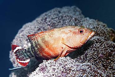 Flagtail Rockcod (Cephalopholis urodeta), Great Barrier Reef, Unesco World Heritage Site, Pacific, Australia, Oceania