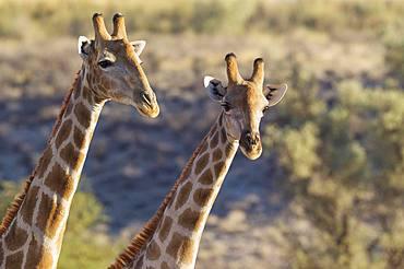 Southern Giraffes (Giraffa camelopardalis giraffa), two males, Kalahari Desert, Kgalagadi Transfrontier Park, South Africa, Africa