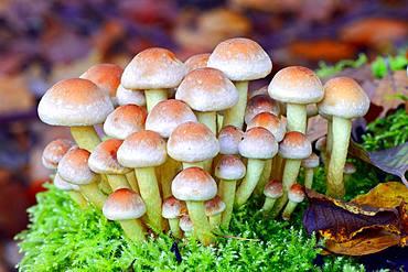 Brick Cap (Hypholoma lateritium), Barnim Nature Park, Brandenburg, Germany, Europe