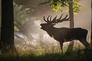 Red Deer (Cervus elaphus), stag, Copenhagen, Denmark, Europe