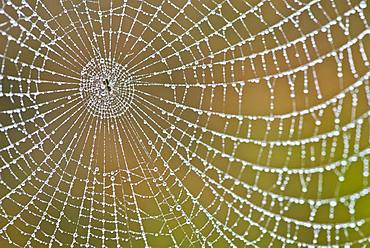 Spider's web with dew drops, Emsland, Lower Saxony, Germany, Europe