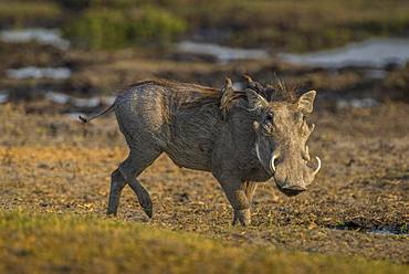 Warthog (Phacochoerus aethiopicus) with Red-billed oxpeckers (Buphagus erythrorhynchus), on a waterhole, Moremi Wildlife Reserve, Ngamiland, Botswana, Africa
