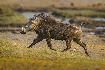Warthog (Phacochoerus aethiopicus) after a mud bath, running with tail raised, Moremi Wildlife Reserve, Ngamiland, Botswana, Africa