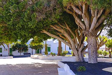 Laurel and dragon trees, Plaza San Roque, Tinajo, Lanzarote, Canary Islands, Spain, Europe