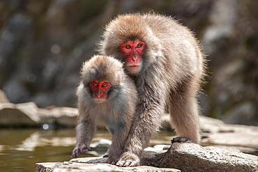 Two Japanese macaque (Macaca fuscata), mother and young animal on the water, Yamanouchi, Nagano Prefecture, Honshu Island, Japan, Asia