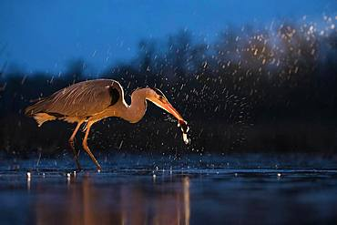 Grey Heron (Ardea cinerea), searching for food at night, Kiskunsag National Park, Hungary, Europe