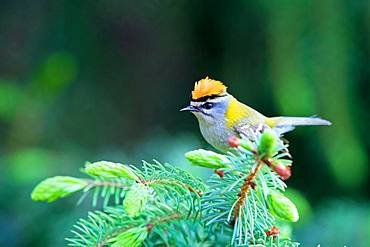 Common firecrest (Regulus ignicapillus) sits in a fir tree, Germany, Europe