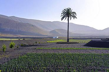 Palm in fields, Valle de la Degollada, near Yaiza, Lanzarote, Canary Islands, Spain, Europe