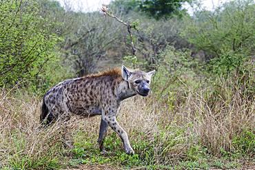 Spotted hyena (Crocuta crocuta), Kruger National Park, South Africa, Africa