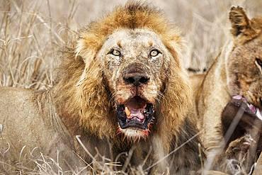 Lion (Panthera leo), old animal, animal portrait, Kruger National Park, South Africa, Africa