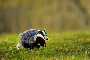 European badger (Meles meles), jumps over meadow, captive, Bohemian Forest, Czech Republic, Europe