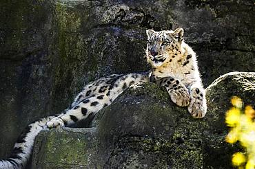 Snow leopard (Panthera uncia), captive Switzerland