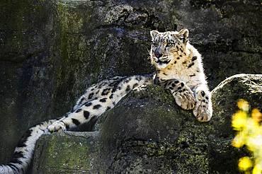 Snow leopard (Panthera uncia), captive Switzerland