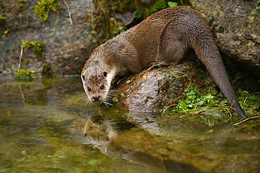 European otter (Lutra lutra), female sitting on stone on the bank of a pond, captive, Switzerland, Europe