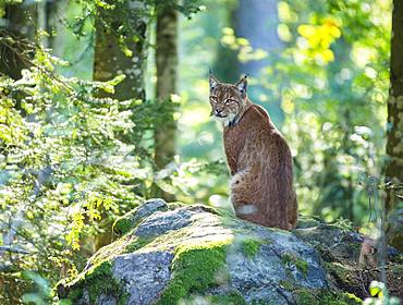 Lynx (Lynx lynx) sits on a rock, captive, Bavaria, Germany, Europe