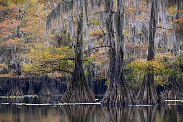 Bald cypresses (Taxodium distichum) with Spanish moss (Tillandsia usneoides) in autumn, Atchafalaya Basin, Louisiana, USA, North America