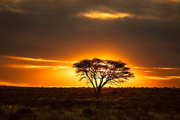 Desert with tree at sunset, near Kimberley, South Africa, Africa