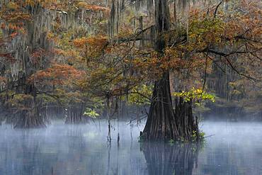 Bald cypresses (Taxodium distichum) in autumn with Spanish moss (Tillandsia usneoides), fog over the water, Atchafalaya Basin, Louisiana, USA, North America