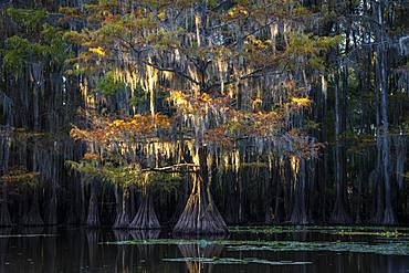 Bald cypresses (Taxodium distichum) in autumn with Spanish moss (Tillandsia usneoides), Atchafalaya Basin, Louisiana, USA, North America