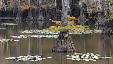 Bald cypresses (Taxodium distichum) in autumn, Atchafalaya Basin, Louisiana, USA, North America