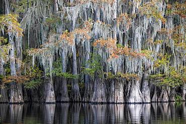 Bald cypresses (Taxodium distichum) with Spanish moss (Tillandsia usneoides) in autumn ,Atchafalaya Basin, Louisiana, USA, North America