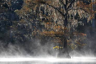 Bald cypress (Taxodium distichum) with Spanish moss (Tillandsia usneoides) in autumn, fog at the lake, Atchafalaya Basin, Louisiana, USA, North America