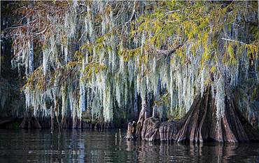 Bald cypress (Taxodium distichum) with Spanish moss (Tillandsia usneoides) in water, Atchafalaya Basin, Louisiana, USA, North America