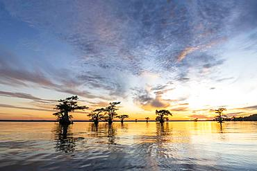 Bald cypresses (Taxodium distichum) in water at sunset, Atchafalaya Basin, Louisiana, USA, North America