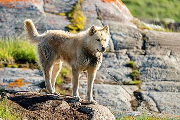 Greenland dog, Ilimanaq, Greenland, North America