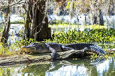 American alligator (Alligator mississippiensis), located on tree trunk in water, Atchafalaya Basin, Louisiana, USA, North America