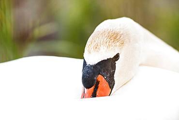 Resting swan (Cygnini), animal portrait, Altnau, Lake Constance, Thurgau, Switzerland, Europe