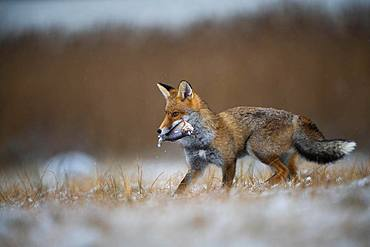 Red fox (Vulpes vulpes) with captured fish in winter, Eifel, Rhineland-Palatinate, Germany, Europe