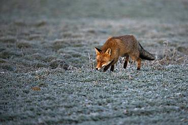 Red fox (Vulpes vulpes) laces in winter, Eifel, Rhineland-Palatinate, Germany, Europe