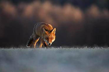 Red fox (Vulpes vulpes) for hoarfrost in winter, Eifel, Rhineland-Palatinate, Germany, Europe