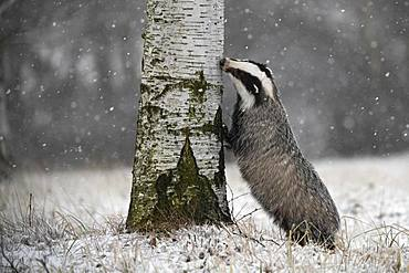 European badger (Meles meles) sniffs at tree in winter, Eifel, Rhineland-Palatinate, Germany, Europe