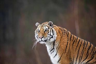Siberian tiger (Panthera tigris altaica), sitting, animal portraitt, captive, Czech Republic, Europe