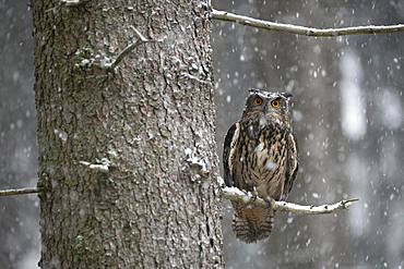 Eurasian eagle-owl (Bubo bubo) sitting on a branch during snowfall, Eifel, Germany, Europe