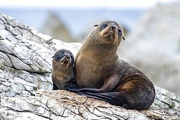 New Zealand fur seals (Arctocephalus forsteri), dam with young on rock, Kaikoura, Canterbury, South Island, New Zealand, Oceania