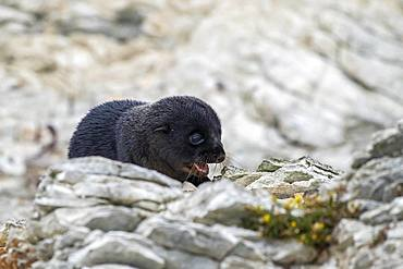 New Zealand fur seal (Arctocephalus forsteri), young animal on rock, Kaikoura, Canterbury, South Island, New Zealand, Oceania