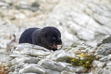 New Zealand fur seal (Arctocephalus forsteri), young animal on rock, Kaikoura, Canterbury, South Island, New Zealand, Oceania