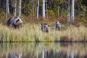 Brown bear (Ursus arctos), mother with young in the autumnal taiga, Kuhmo, Finland, Europe