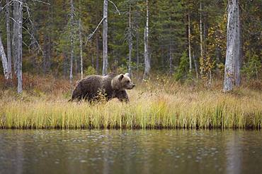 Brown bear (Ursus arctos) in autumn forest, Kainuu, North Karelia, Kuhmo, Finland, Europe