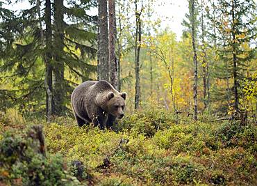 Brown bear (Ursus arctos), Old animal runs in autumn forest, Kainuu, Kuhmo, Karelia, Finland, Europe