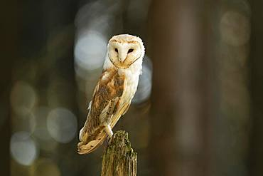 Common barn owl (Tyto alba), standing on dead tree stump, captive, Bohemian Forest, Czech Republic, Europe
