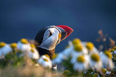 Puffin (Fratercula arctica), animal portrait between flowers, bird rock Latrabjarg, Westfjords, Iceland, Europe