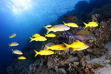 Swarm Golden Goatfish (Parupeneus cyclostomus), at the coral reef in backlight, Sharm el Sheik, Sinai Peninsula, Red Sea, Egypt, Africa