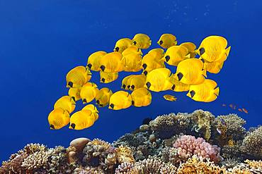 Swarm Bluecheek butterflyfishes (Chaetodon semilarvatus), Red Sea, Egypt, Africa