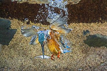Common kingfisher (Alcedo atthis), dives for fish, Hesse, Germany, Europe - 832-387167