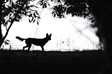Dhole (Cuon alpinus), silhouette in the forest, Tadoba Andhari Tiger Reserve, India, Asia